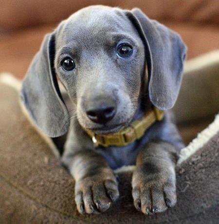 Blue dachshund green collar
