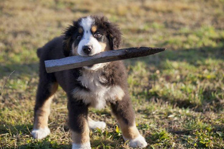 amon - mały berneński pies pasterski