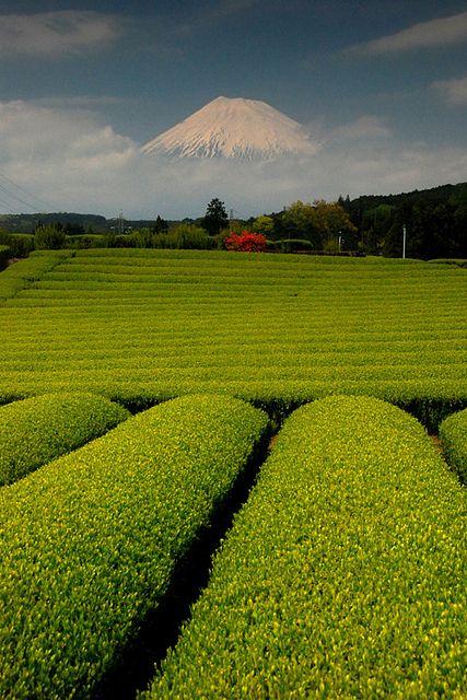 Tea-farm with Mt Fuji in the background, Shizuoka, Japan