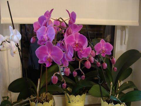 Моя орхидея 35 бутонов . Как я ухаживая за своей красавицей - YouTube