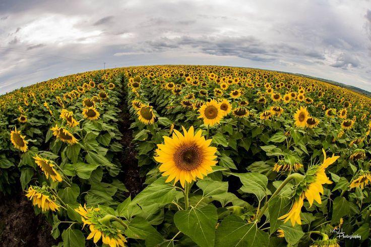 Sunflower Route - Allora