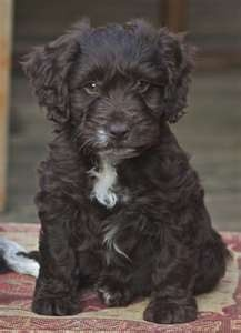 Think I'll give up on the big dogs - next trip it is another Cockapoo for me!!!!!!!! Maybe chocolate with long legs for jumping on the furniture easily!