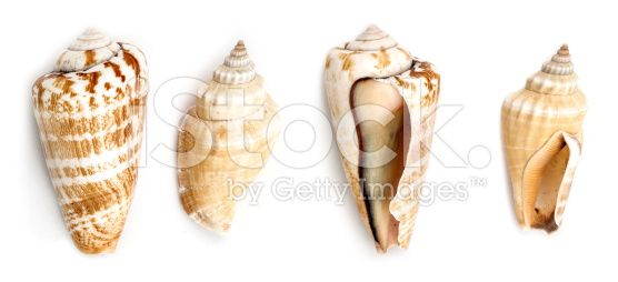 Strawberry Conch And Samar Conch Shells royalty-free stock photo
