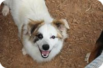 Duluth, GA - Corgi/Australian Shepherd Mix. Meet Beckett, a dog for adoption. http://www.adoptapet.com/pet/18184184-duluth-georgia-corgi-mix