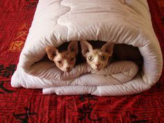 Cats in a blanket. #hairless #sphynx #cat