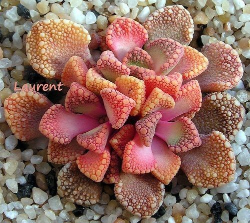 Titanopsis variegata — amazing colors on this pink succulent @ its-a-green-life