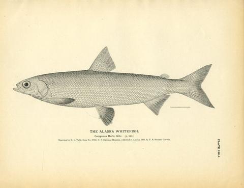 17 best images about explorer decor on pinterest for Alaskan white fish