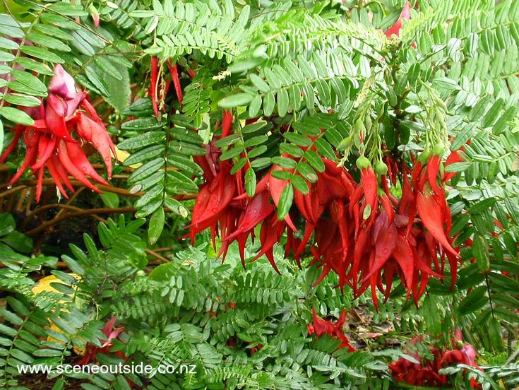 Clianthus maximus (kaka beak, kowhai ngutu-kaka): described and illustrated in the plant guide of my website http://www.sceneoutside.co.nz