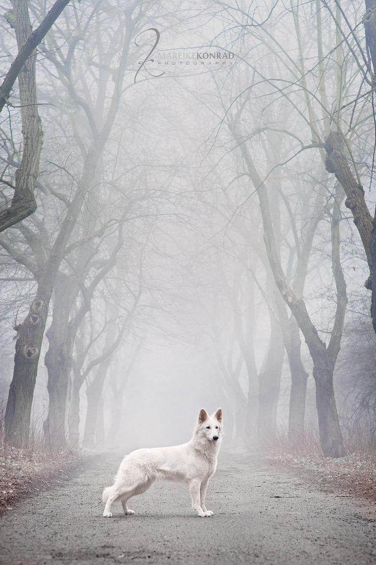 Winter is coming. #dogs #germanshepherd #gsd #doglovers