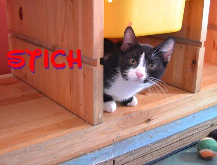 Regalo - adozione cuccioli gattino bianco e nero