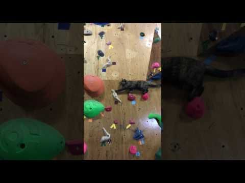 I Love Funny Animal - Sweet Funny Animal Photo of the Day: Sharing Cat skillfully maneuvers climbing wall (vi...