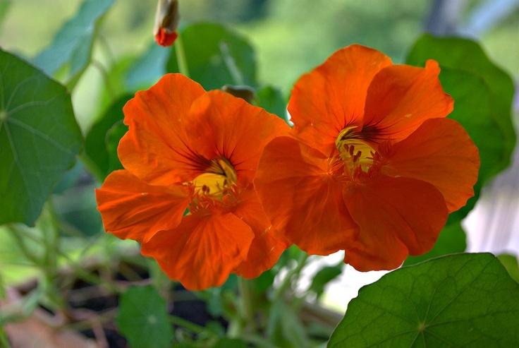Nasturzi fiori e foglie sono oltretutto commestibili… Il sapore del nasturzio è agro, aspro, sul piccantino sia fiori che foglie sono molto ricche di vitamina C, possono essere aggiunte alle insalate ed i semi non ancora maturi, si usano in salamoia o sotto sale come i capperi