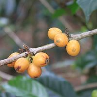 The commercial production of coffee is only a century old, coffee plant morphology and its impact on coffee quality is still very young. As science and research begin to catch up, we will discover and share much more about plant lineage, terroir, and what we can deduce about each of these as it relates to coffee quality.