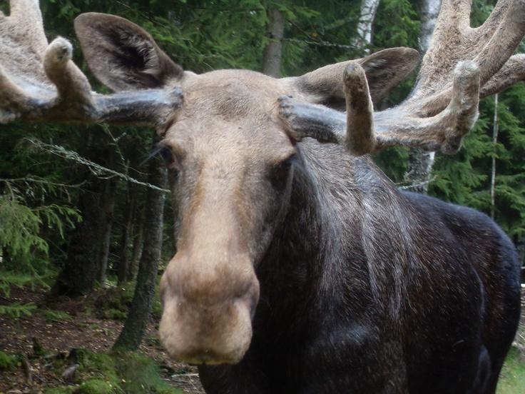 moose sweden