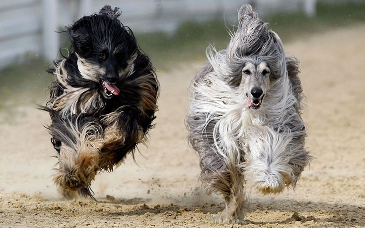 Afghan hounds race at a dog track near Brands Hatch in KentPicture: Kirsty Wigglesworth/AP: