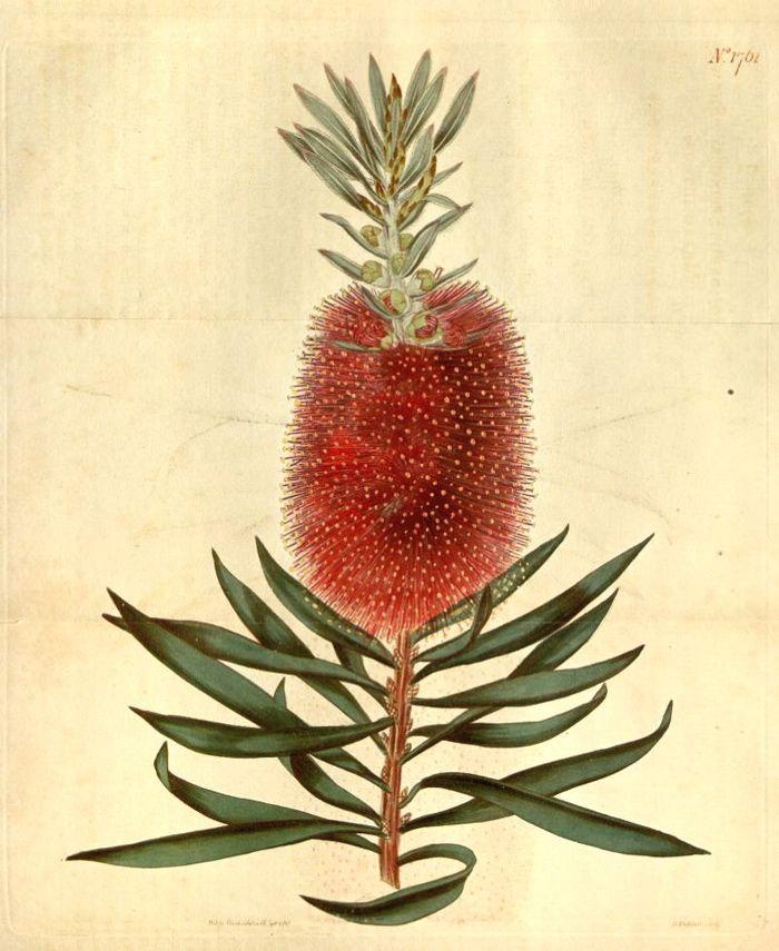 Hortus Camdenensis | Callistemon speciosus DC.
