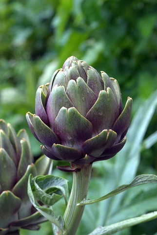 "Artichoke Globe Purple (each) £1.45  Organic Globe Purple Artichokes (Cynara cardunculus var. scolymus). The flowers develop in a large head from an edible bud about 8–15 cm (3.1–5.9 in) diameter with numerous triangular scales; the individual florets are purple. The edible portions of the buds consist primarily of the fleshy lower portions of the involucral bracts and the base, known as the ""heart""; the mass of immature florets in the center of the bud is called the ""choke"" or beard."