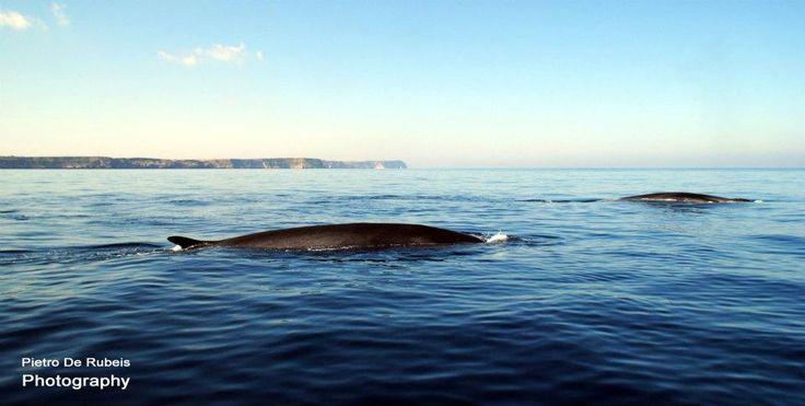 Lampedusa e il viaggio delle Balene verso il Santuario Pelagos