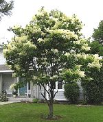 Hardy Japanese Lilac Tree