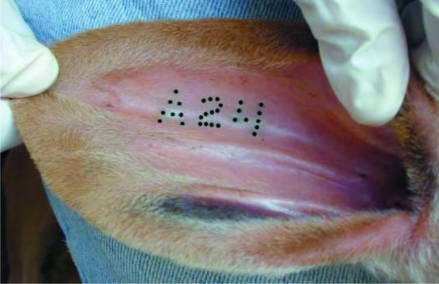 Great image of an ear tattoo in a calves' ear. Animal ...