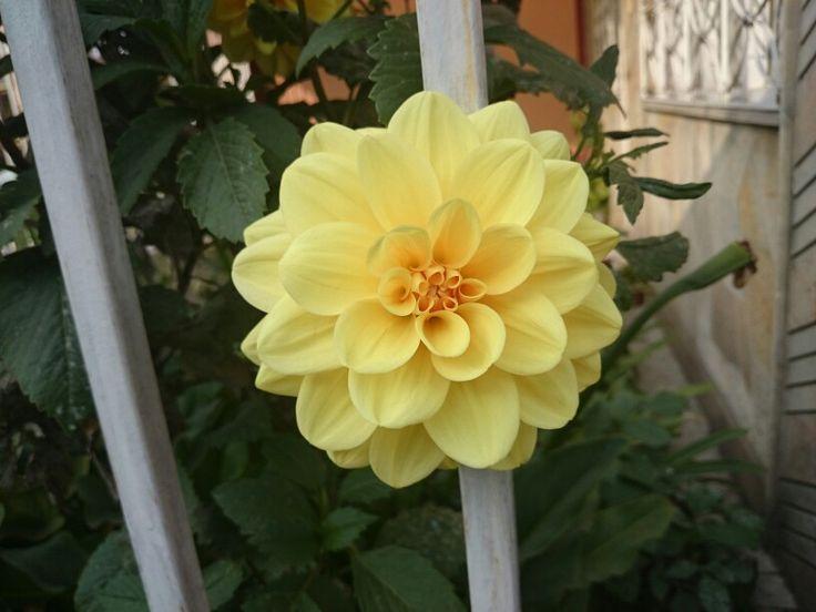 Yellow flower #flower #flor