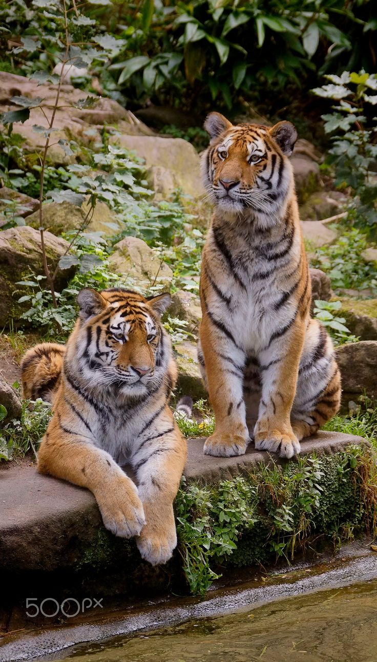 .....Tiger Brothers.....