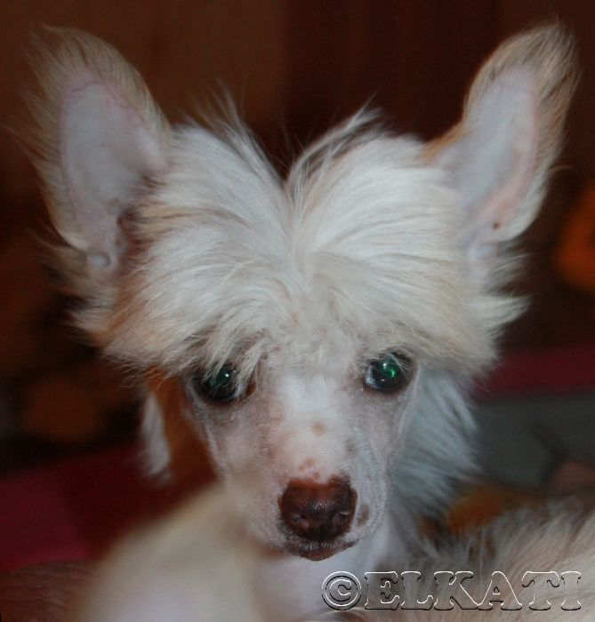 Hillari Elkati. 3 months. Puppy kennel Elkati. Chinese crested puppy Китайская хохлатая собака, щенки