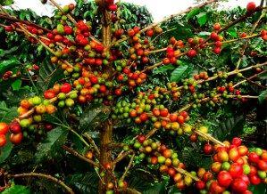 Kopi Nusantara, kopi-kopi dengan cita rasa Indonesia yang memperkaya khazanah kopi dunia.