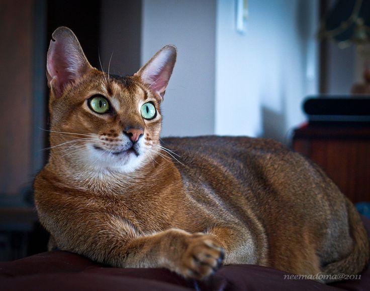 Abyssinian cat breeders in ohio
