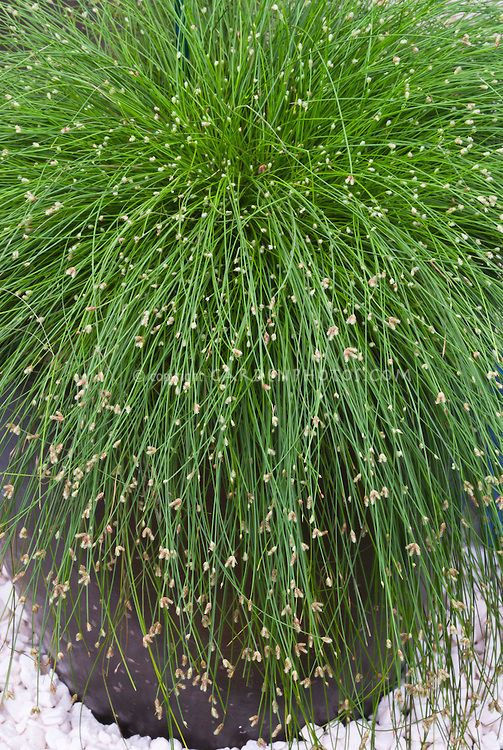 8 best images about grass on pinterest gardens plugs for Ornamental grasses for small spaces