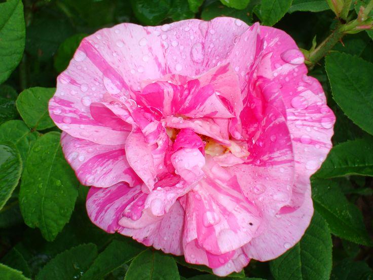 Min favorit ros: Rosa Gallica = Rosa Mundi. Spännande att ha  en ros som funnits sen slutet av 1500-talet i sin trädgård