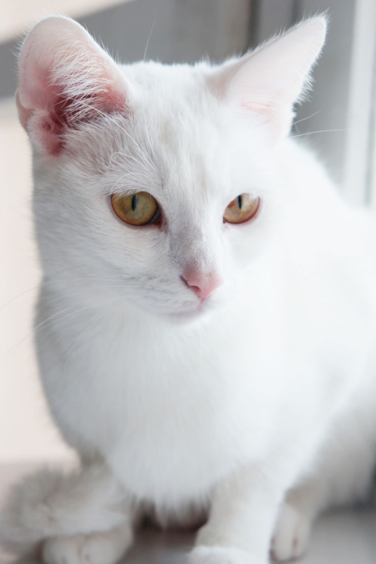 #cat #white #geko
