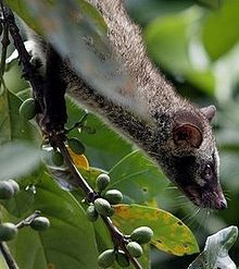 Asian palm civet - Wikipedia, the free encyclopedia