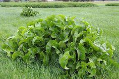 Листья хрена – единственные из растений, способные вытягивать соль через поры кожи!