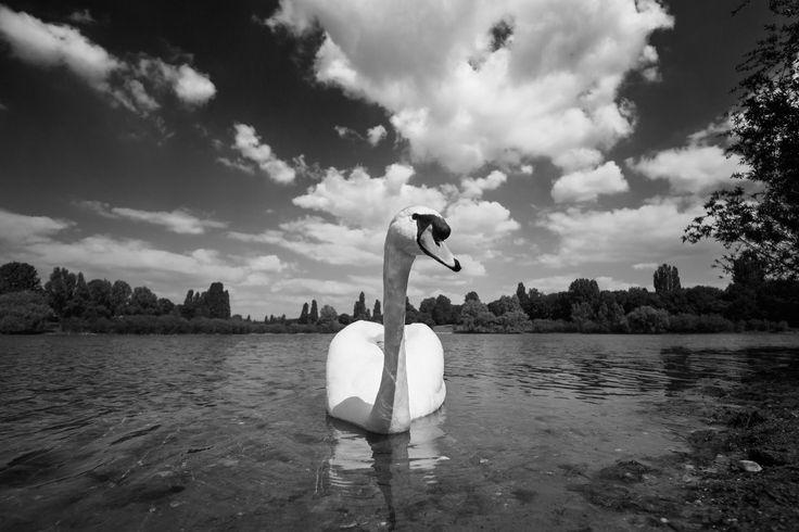 Schwan schwimmt auf See