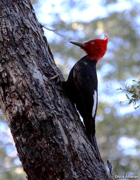MALE MAGELLANIC WOODPECKER .  INDIGENOUS ALONG THE ANDES OF CHILE AND ARGENTINA