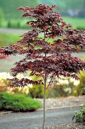 Bloodgood Chinese Maple