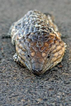 Shingleback skink. One of the few reptiles that has been found to mate for life. They have excellent memories and recognition skills!