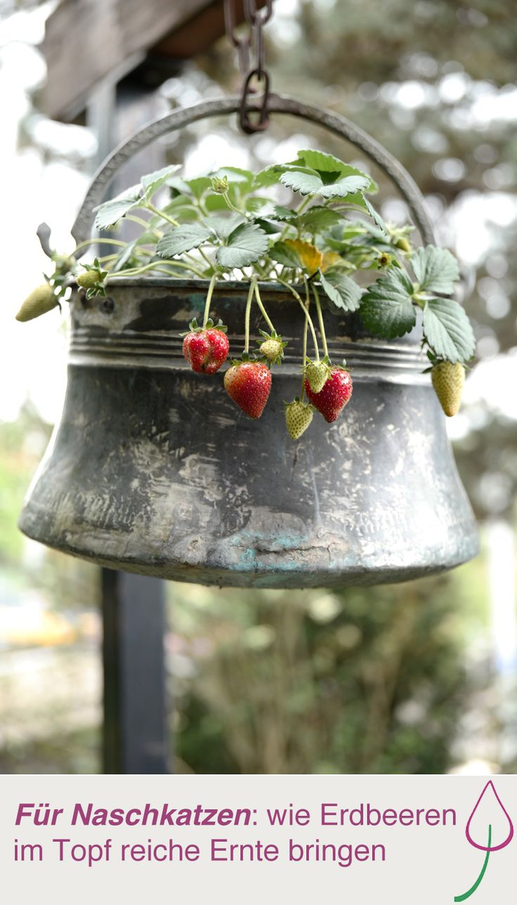 die besten 25 erdbeeren pflanzen ideen auf pinterest zimmerkr uter turmgarten und. Black Bedroom Furniture Sets. Home Design Ideas