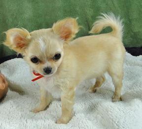 Chi Idols Home Teddy Bear Dog Cute Teacup Puppies Cute Animals
