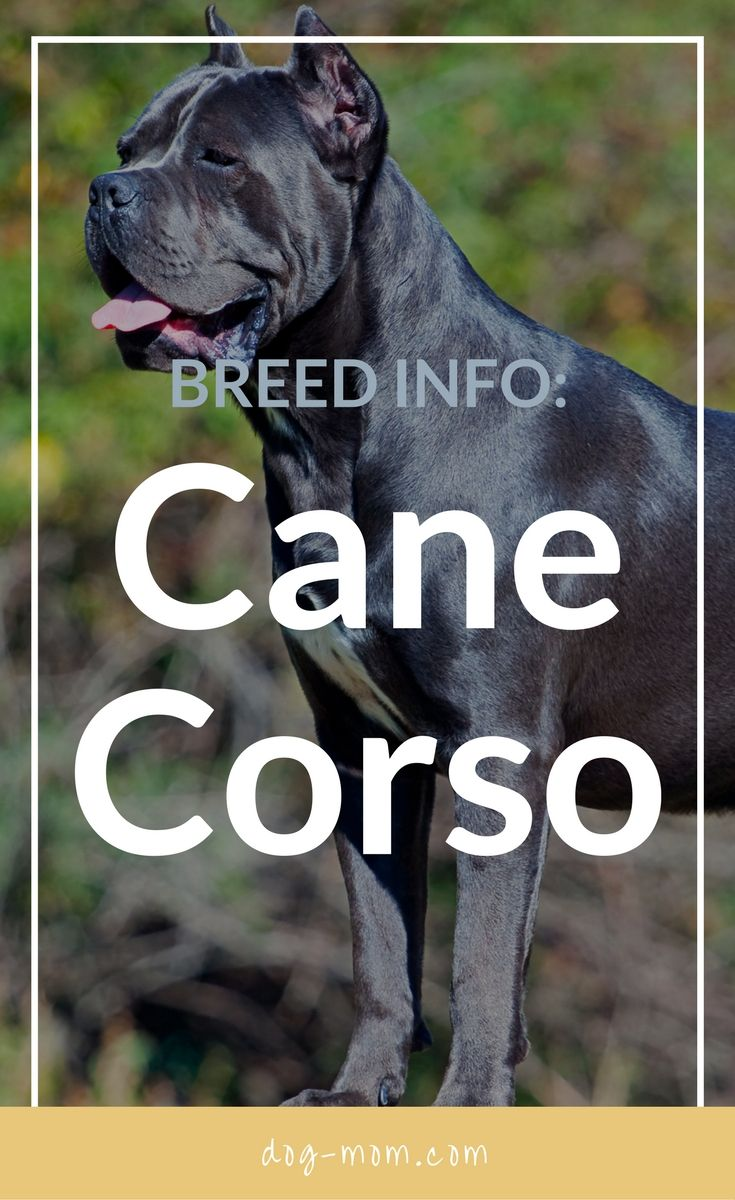 The Cane Corso is a powerful guard that derives from Italy. These beautiful and intelligent animals are still new to the United States, only making their way into the American Kennel Club in 2010. Learn about Cane Corso history, appearance, health, temperament and more.