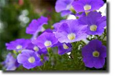 A Handy Guide to Petunia Care | Gardening Central