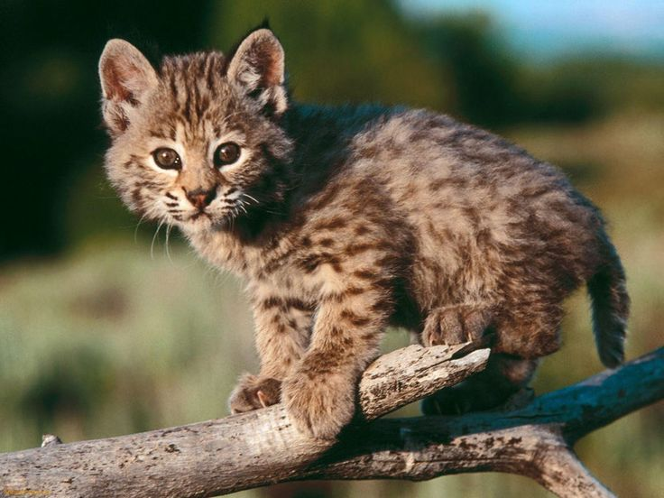 bebe lynx roux bobcat baby