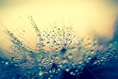 Dandelion seed with water drops Royalty Free Stock Photo
