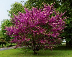 Árbol del amor, árbol de Judea o de Judas, nandumbu, algarrobo loco, arjorán, ciclamor común, siclamor. (Cercis siliquastrum).