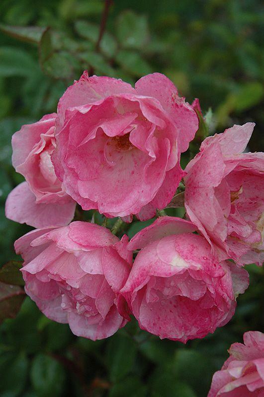 11892 besten roses bilder auf pinterest sch ne blumen englische rosen und blumen. Black Bedroom Furniture Sets. Home Design Ideas