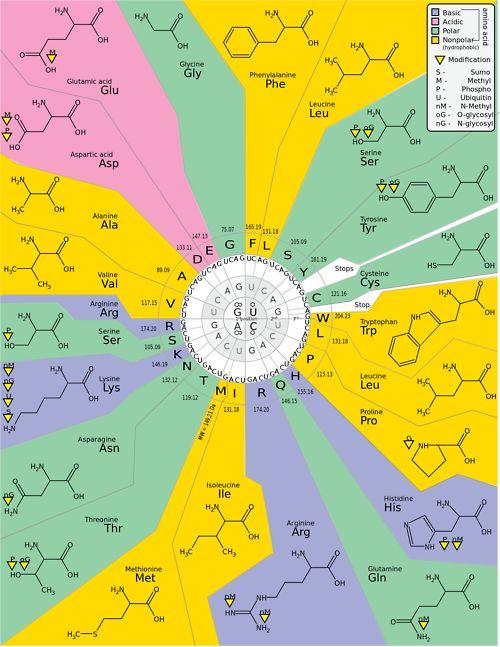DNA codons to Amino Acids