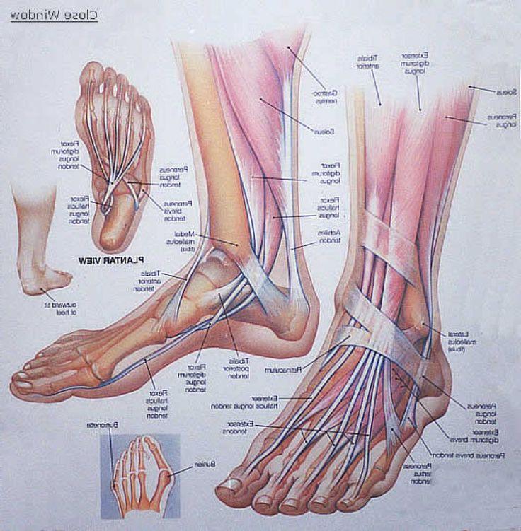 cattle structure diagram foot structure diagram