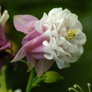 Columbine flower white with pink http://www.growplants.org/growing/columbine-flower learn how to grow  #Columbine #flower