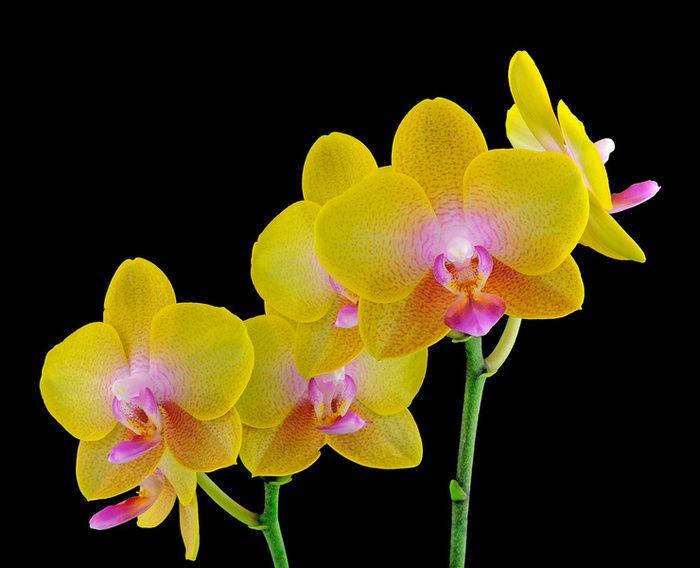 Best Orchid Food Phalaenopsis